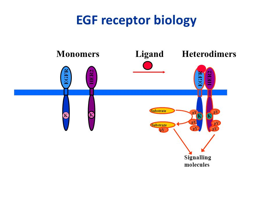 EGF receptor biology Monomers Ligand Heterodimers Signalling molecules