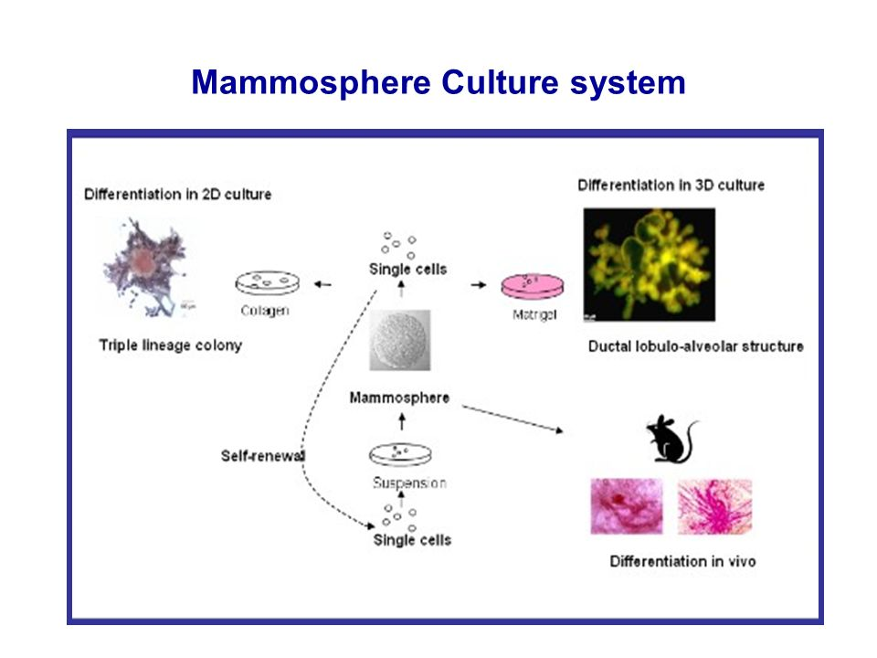 Mammosphere Culture system