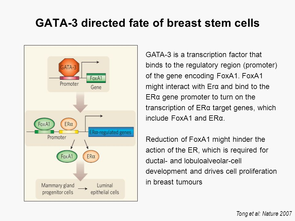 GATA-3 directed fate of breast stem cells