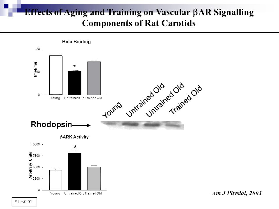Effects of Aging and Training on Vascular AR Signalling