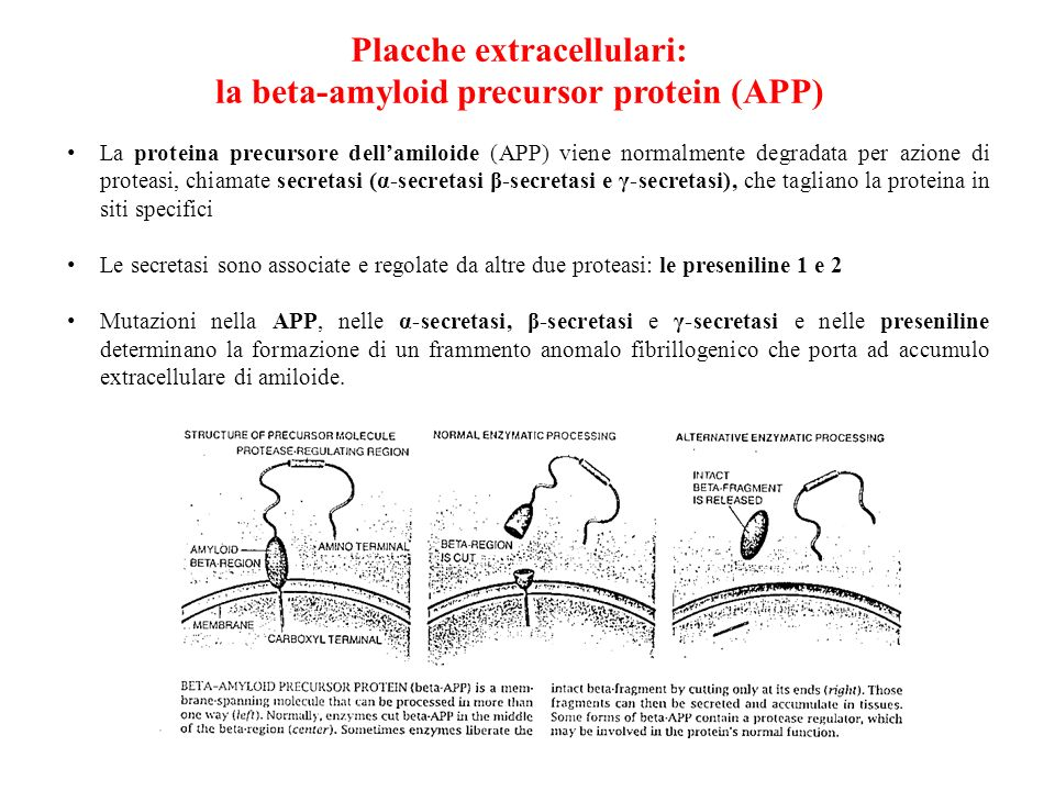 Placche extracellulari: la beta-amyloid precursor protein (APP)
