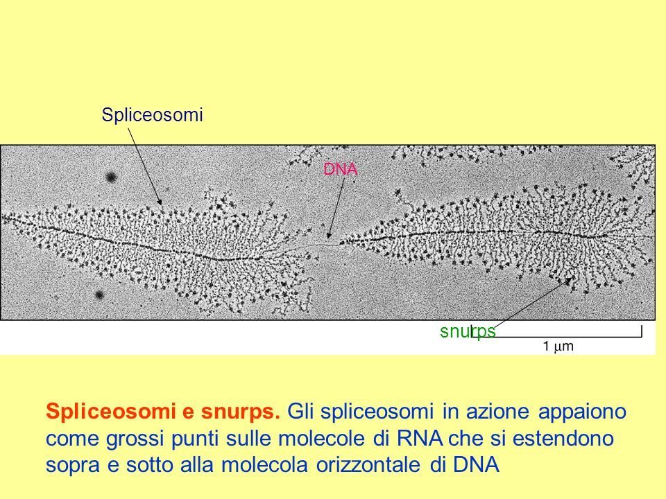 Spliceosomi DNA. snurps.