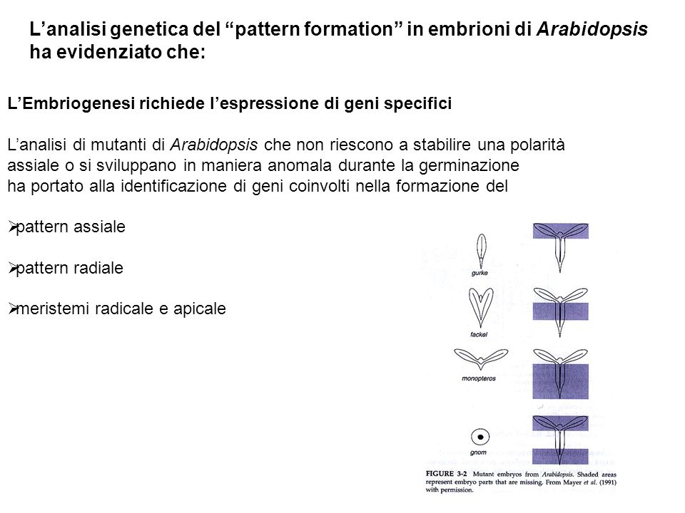 L'analisi genetica del pattern formation in embrioni di Arabidopsis