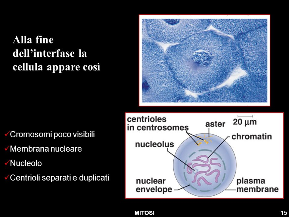 Alla fine dell'interfase la cellula appare così