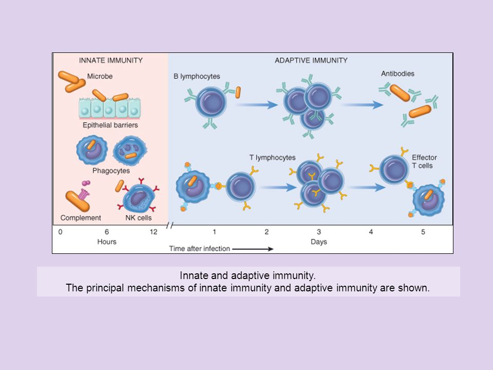 Innate and adaptive immunity.
