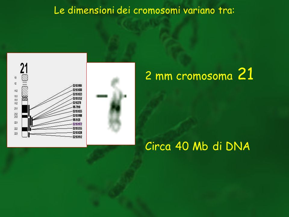 2 mm cromosoma 21 Circa 40 Mb di DNA