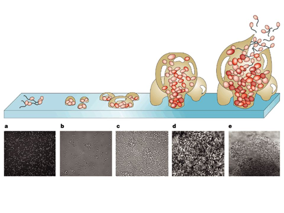 Five stages of biofilm development