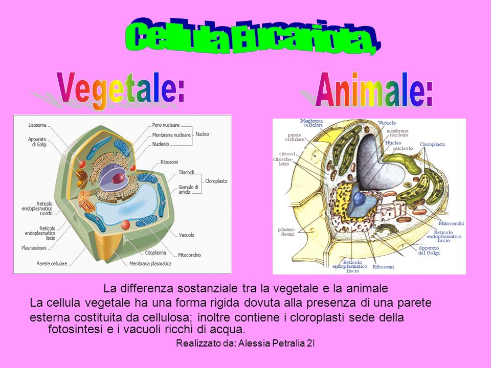 Cellula Eucariota, Vegetale: Animale: