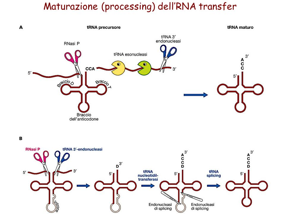 Maturazione (processing) dell'RNA transfer