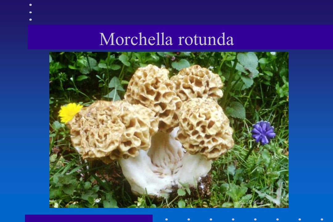 Morchella rotunda