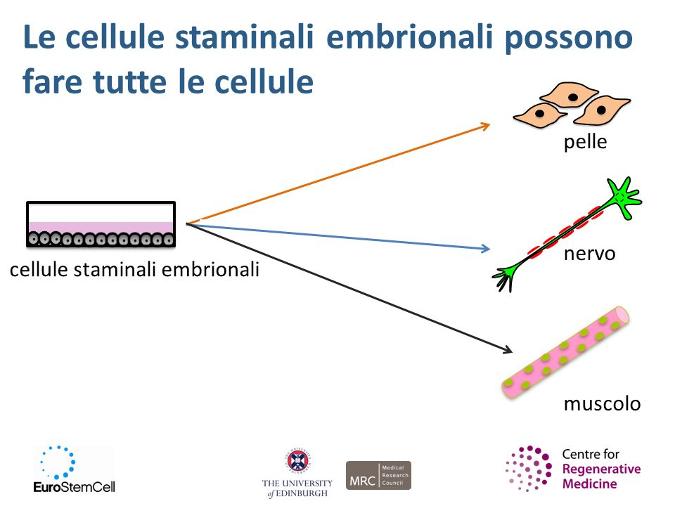 Le cellule staminali embrionali possono fare tutte le cellule