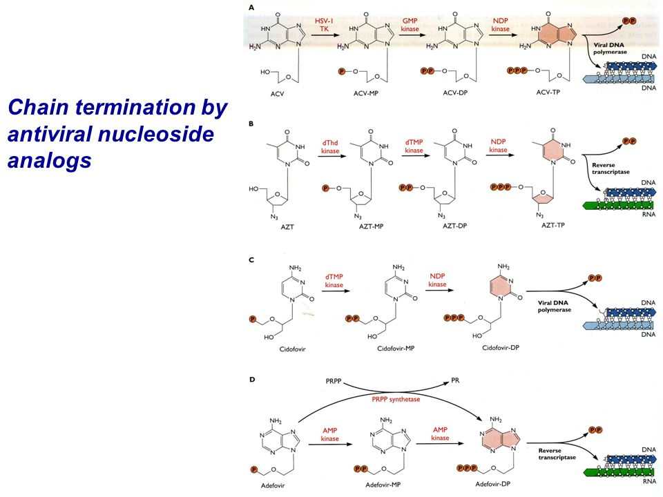 Chain termination by antiviral nucleoside analogs
