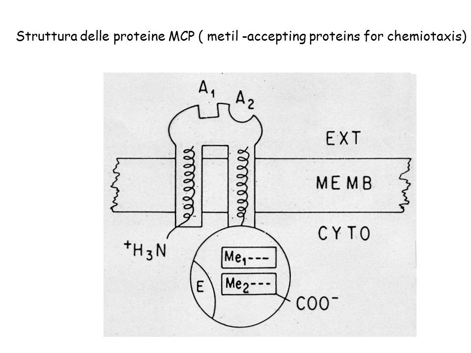 Struttura delle proteine MCP ( metil -accepting proteins for chemiotaxis)