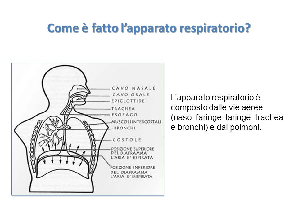Come è fatto l'apparato respiratorio