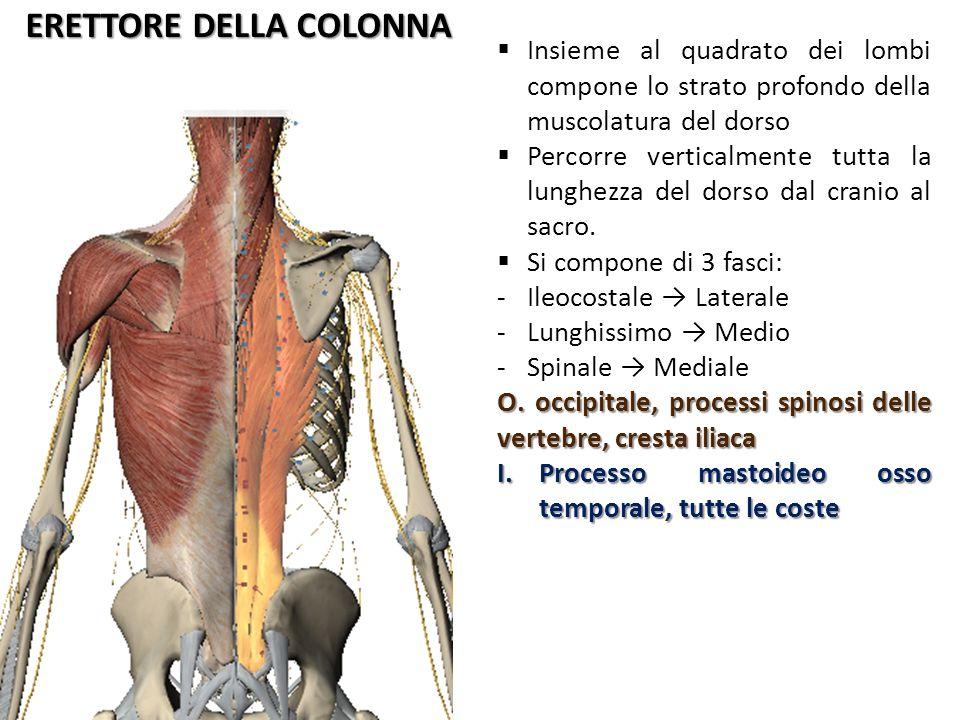 Muscoli Del Dorso Come La Muscolatura Addominale Anche Quella Del