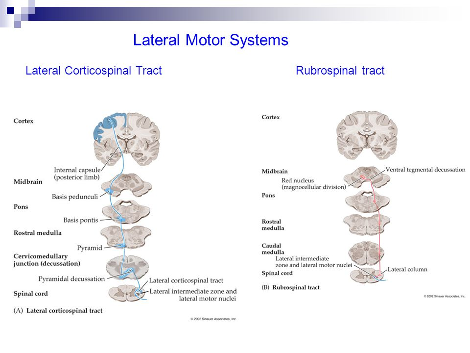 Lateral Motor Systems Lateral Corticospinal Tract Rubrospinal tract.
