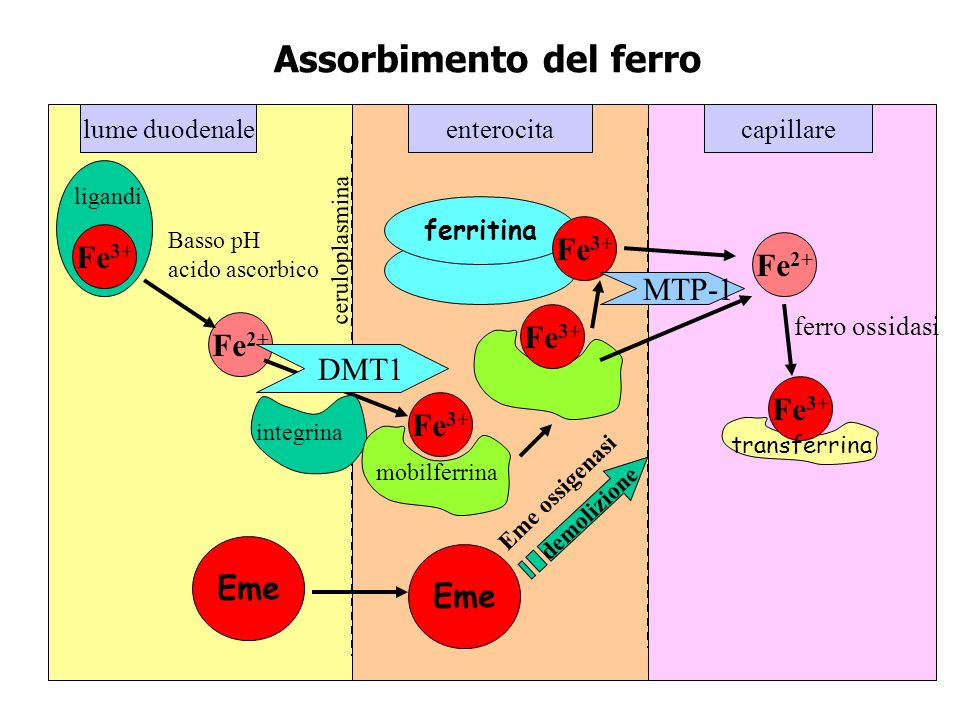 ASSORBIMENTO DEL FERRO PDF DOWNLOAD